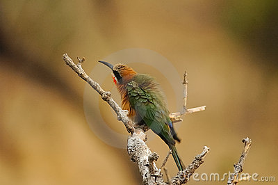 White-fronted Bee-eater Bird