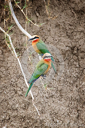 Free White Fronted Bee Eaters Stock Photos - 57224003