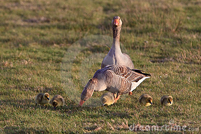 White-fronted goose couple with youngsters