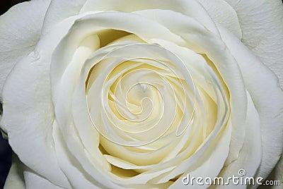 White full rose