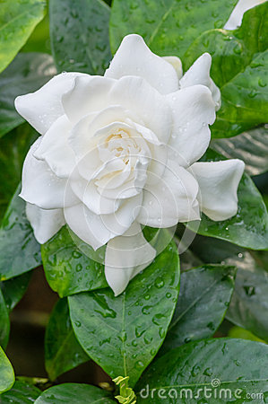 White Gardenia flower with shiny green leaves
