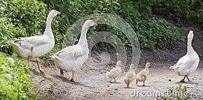 White geese family