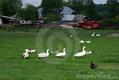 White geese family in spring