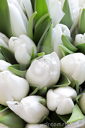 White gentle tulips