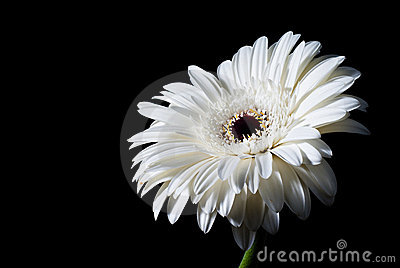 White gerbera on black