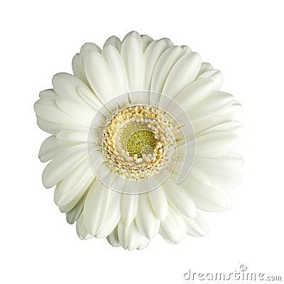 White gerbera daisy isolated
