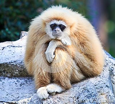 Free White Gibbon Stock Photography - 34733002