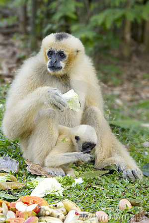 White gibbon and her son