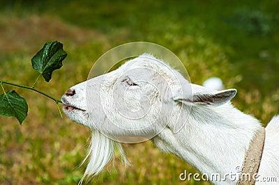 White Goat on a farm