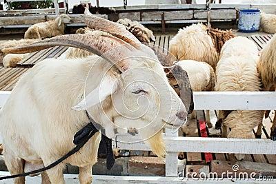 White goat farm