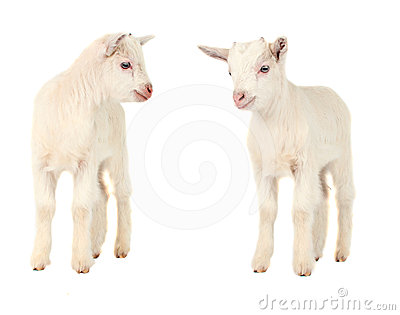 White goat isolated