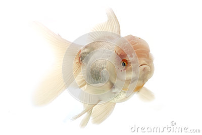 White Goldfish Stock Photo - Image: 29087690