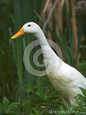 Free White Goose Stock Image - 2487981