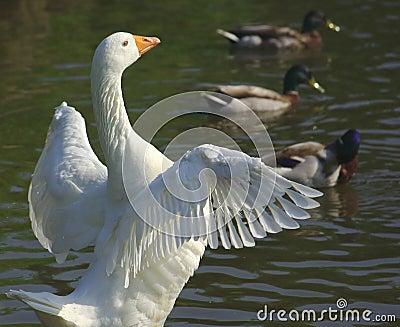 White goose spreading wings