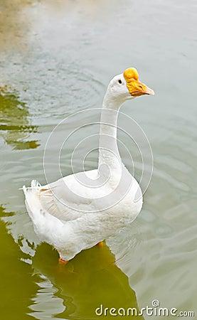 White goose.