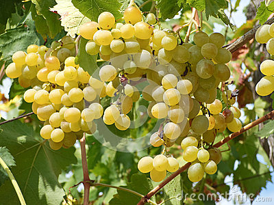 White grape on the vine