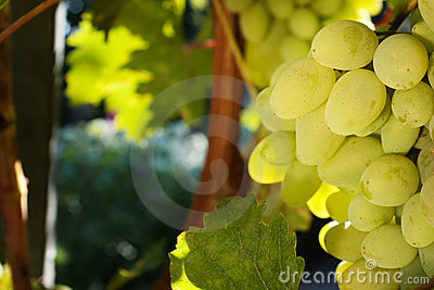 White grapes growing