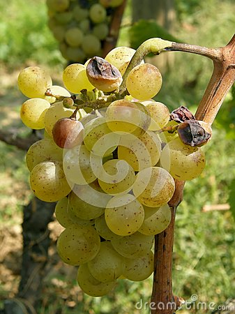 White grapes with ripe and rotten fruits