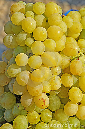 White grapes in the sun