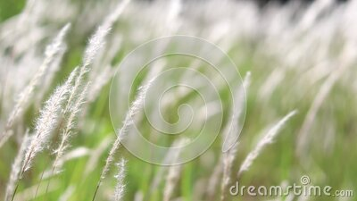 White grass flowers sway in the wind. stock footage