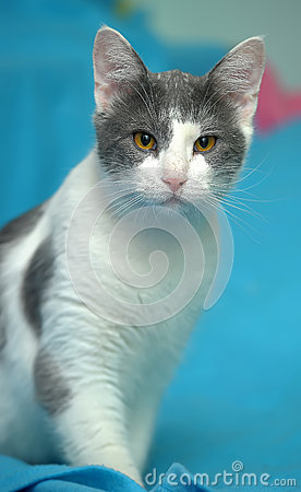 White With Gray Cat With Orange Eyes Stock Photo - Image ... White Cat With Orange Eyes