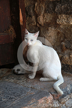 White greek cat with kitten, Crete, Greece