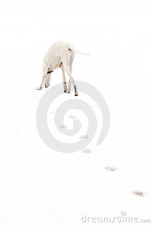 White greyhound hunting