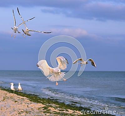 White gull lands