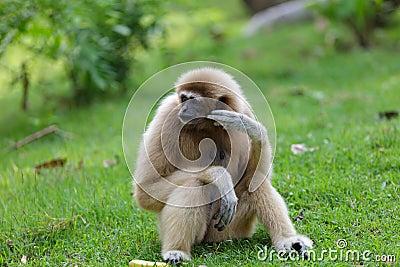 White hand gibbon