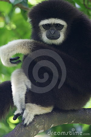 Free White Handed Gibbon Stock Photos - 4406343