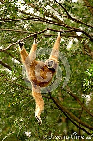 Free White-handed Gibbon Royalty Free Stock Image - 5054246