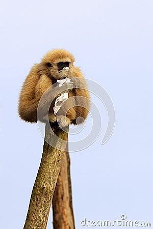 Free White-handed Gibbon Stock Photos - 6661143