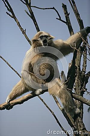 White-handed gibbon, Hylobates lar