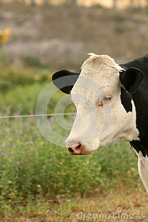 White Head of a Cow