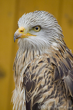 White Head Eagle - from side