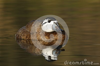 White headed duck,Oxyura leucocephala