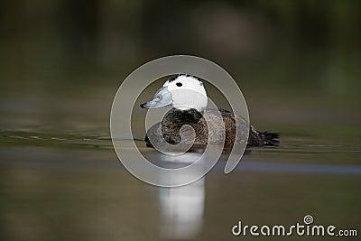 White headed duck,Oxyura leucocephala