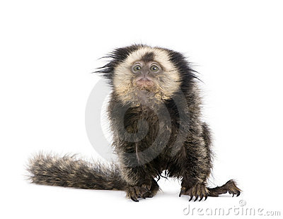 White-headed Marmoset against white background