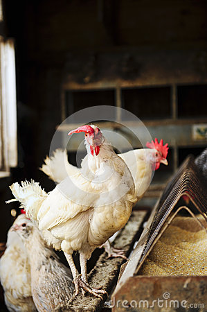 Free White Hens Stock Photo - 28551700