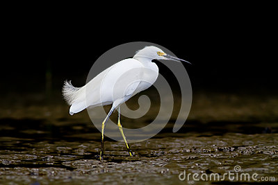 White Heron on the banks or a river