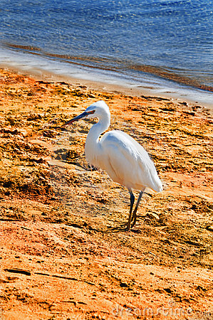 White heron on the beach , Egypt, Africa