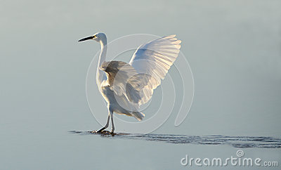White heron counter light at sunrise