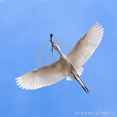 White heron in flying action