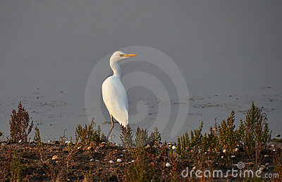 White heron portrait