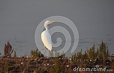 White heron portrait