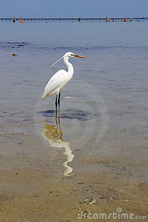 White heron in Red Sea