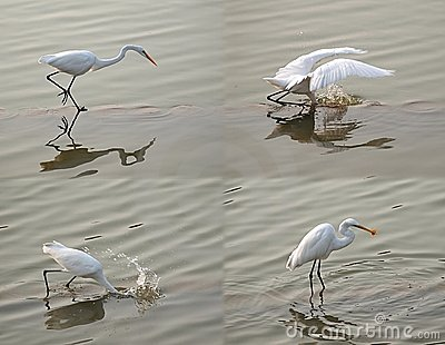 White Heron Snatches a Fish