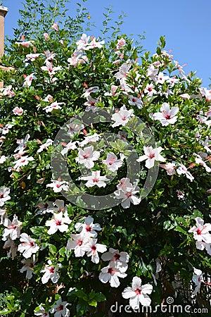 White Hibiscus Bush