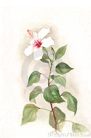 White hibiscus flower watercolor painting