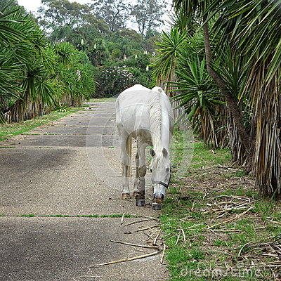 White horse in driveway